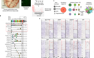 Transcriptomic and morphophysiological evidence for a specialized human cortical GABAergic cell type