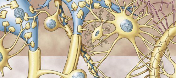 """Przez wiele lat centrum badań nad mózgiem stanowiły neurony, czyli komórki układu nerwowego zdolne do przesyłania i przetwarzania informacji dzięki sygnałowi elektrycznemu. Ten """"neurocentryzm"""" sprawił, że komórki żyjące obok neuronów – k. glejowe, długo były ignorowane."""